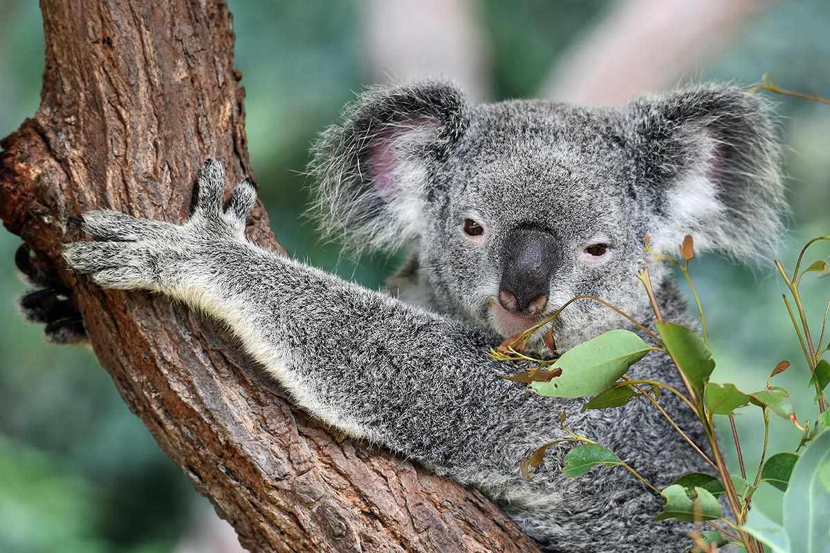 Image of Koala in tree